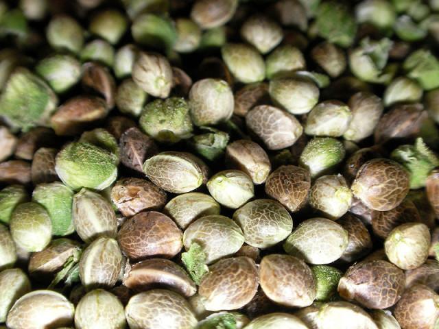 Коноплянные семена