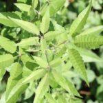 Листья прутняка китайского