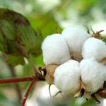 Семена индийского хлопчатника