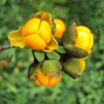 Семена метельчатого древогубца
