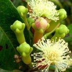 Цветочные почки гвоздичного дерева