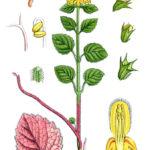 Желтый зеленчук